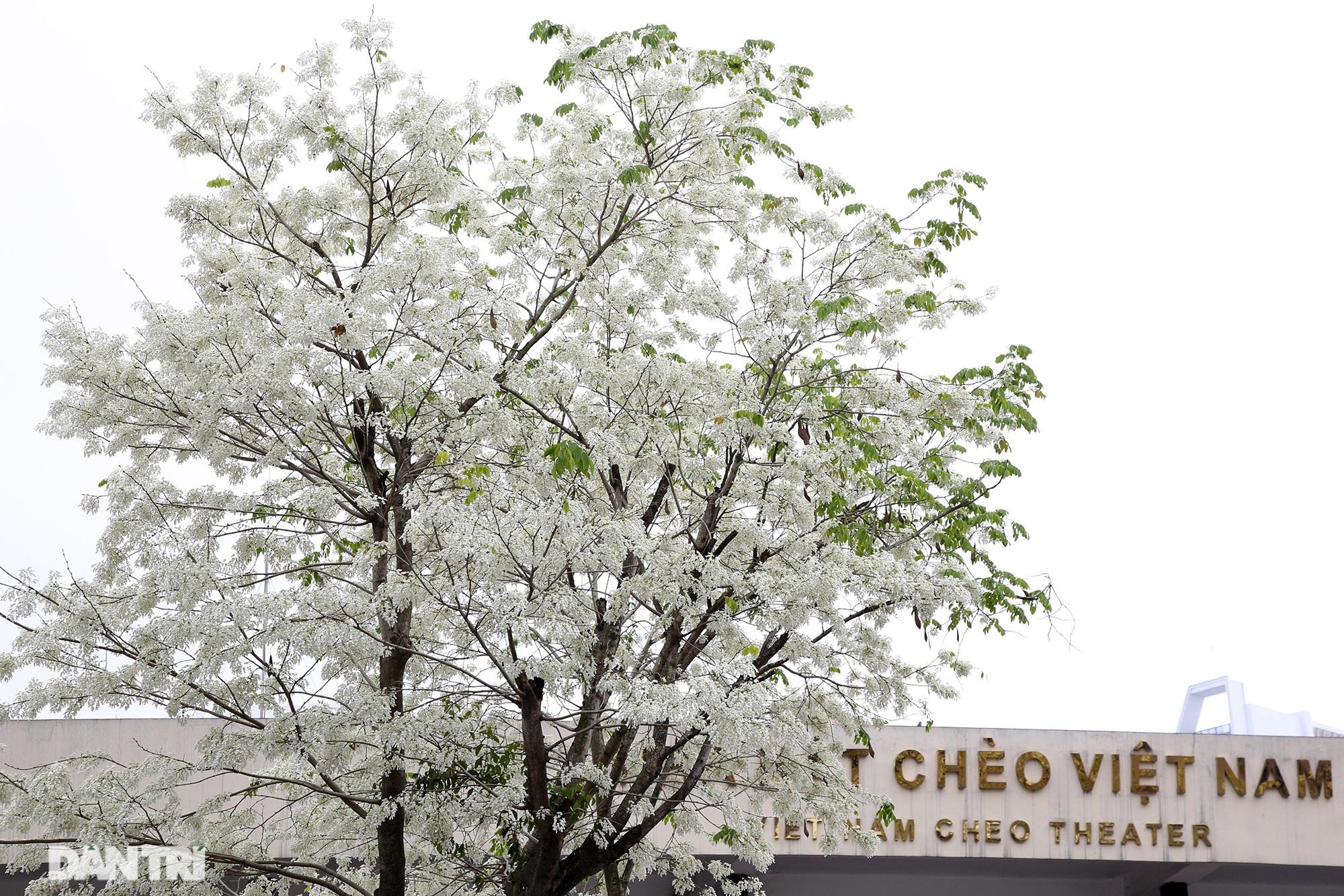 Hà Nội đẹp lạ trong mùa hoa sưa nở trắng tinh khôi - 7