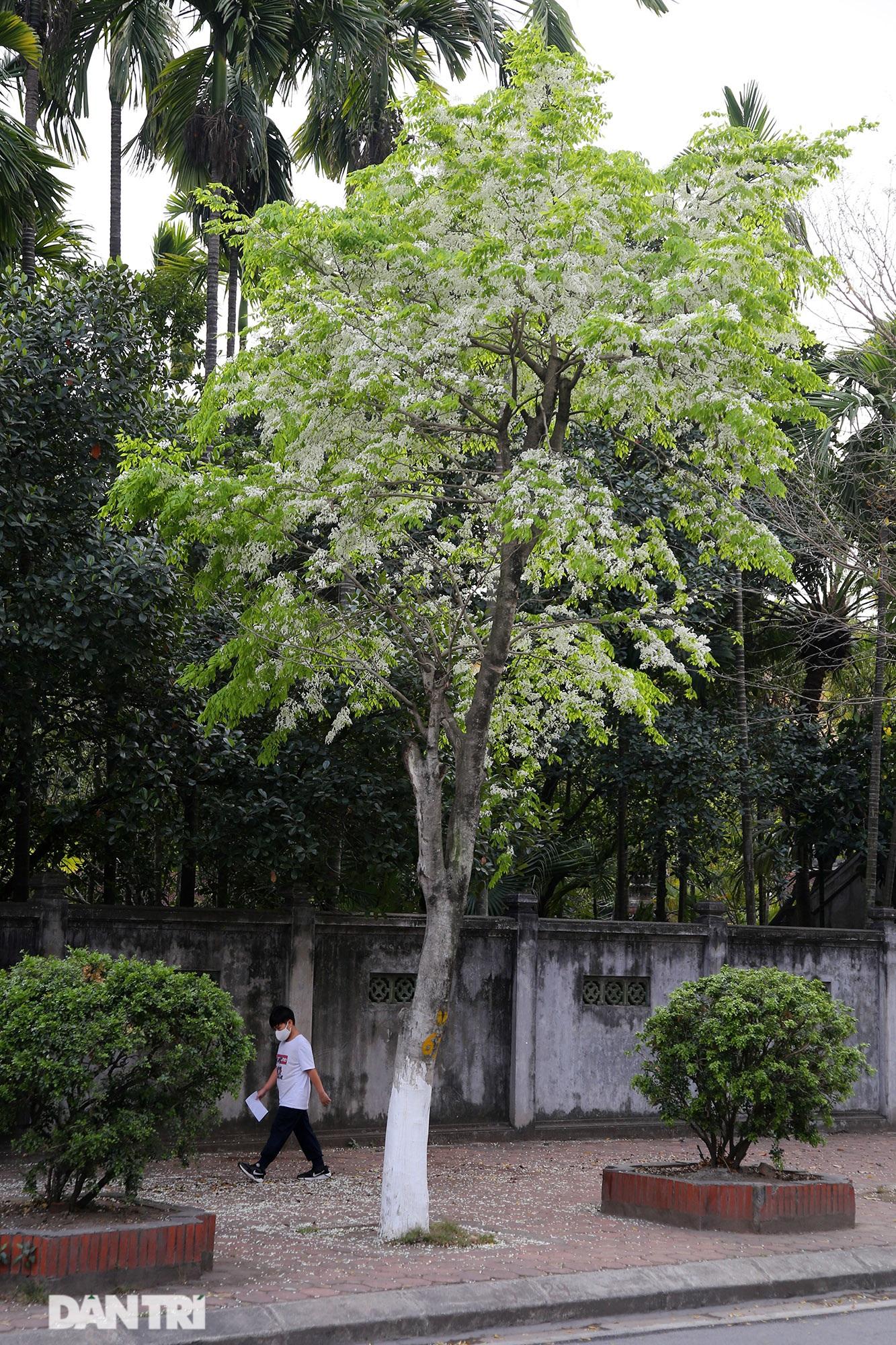Hà Nội đẹp lạ trong mùa hoa sưa nở trắng tinh khôi - 9