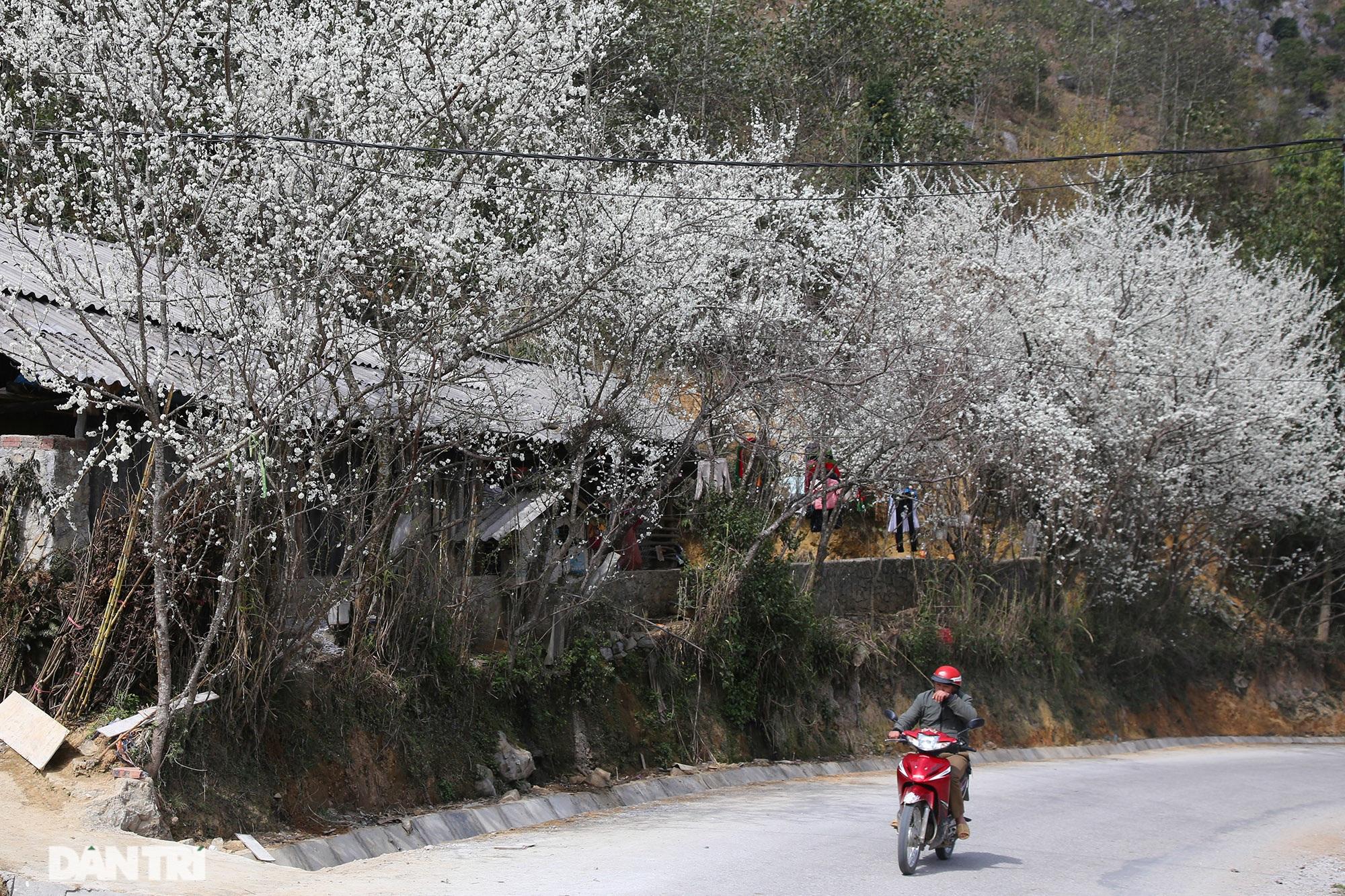 Hoa đào, mận nở khắp mọi nẻo đường cao nguyên đá Đồng Văn - 1