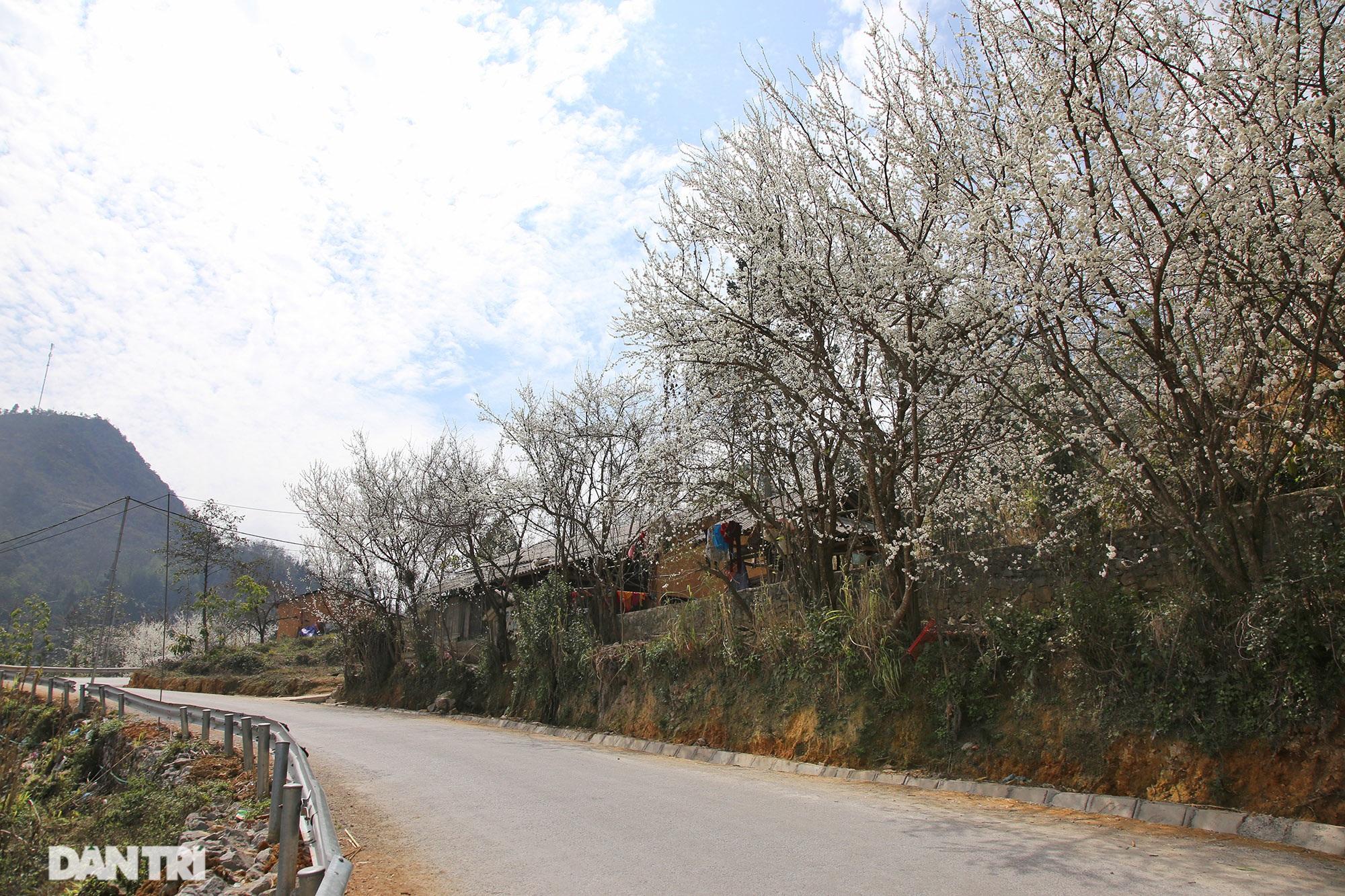 Hoa đào, mận nở khắp mọi nẻo đường cao nguyên đá Đồng Văn - 15