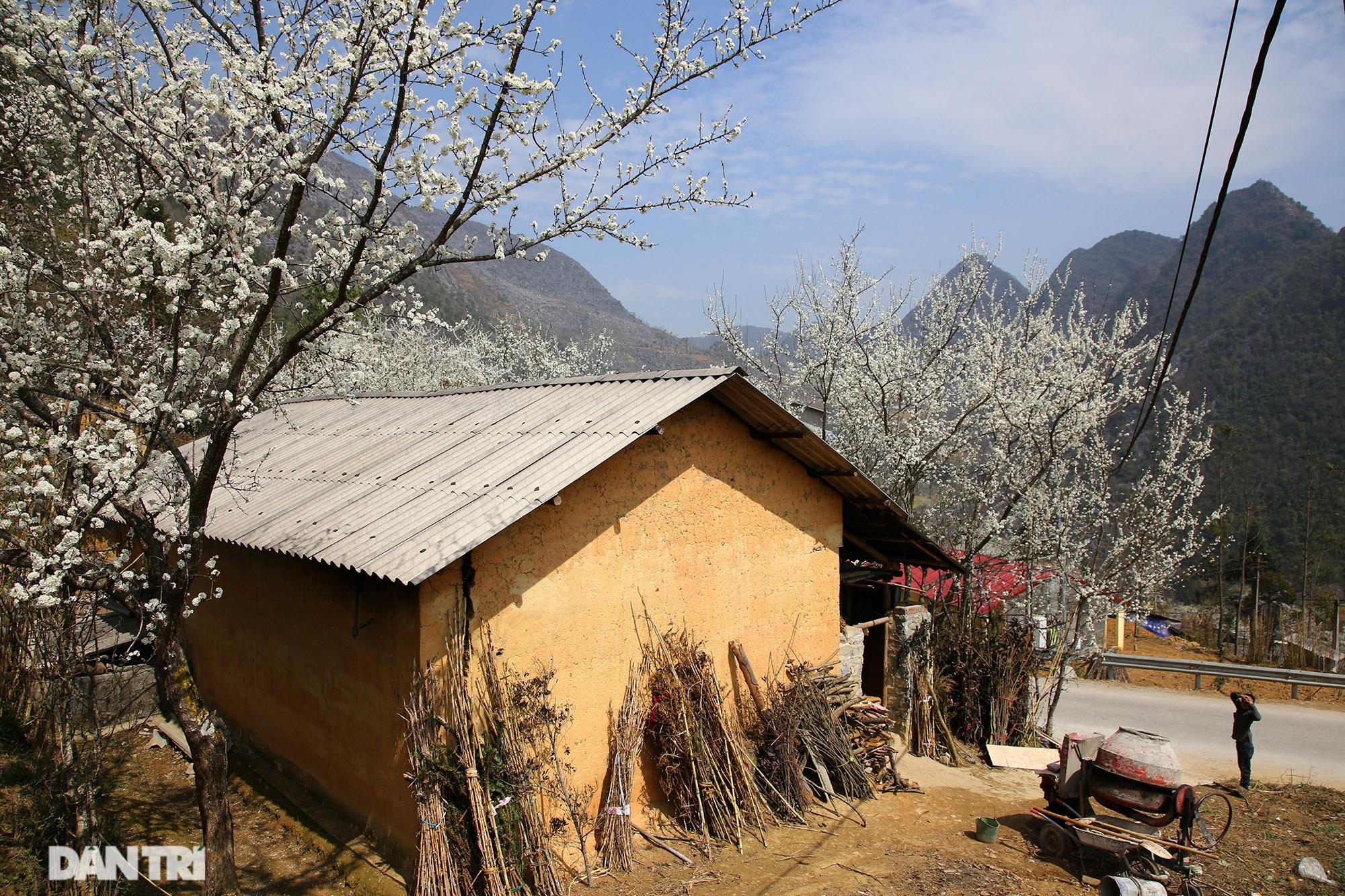 Hoa đào, mận nở khắp mọi nẻo đường cao nguyên đá Đồng Văn - 2