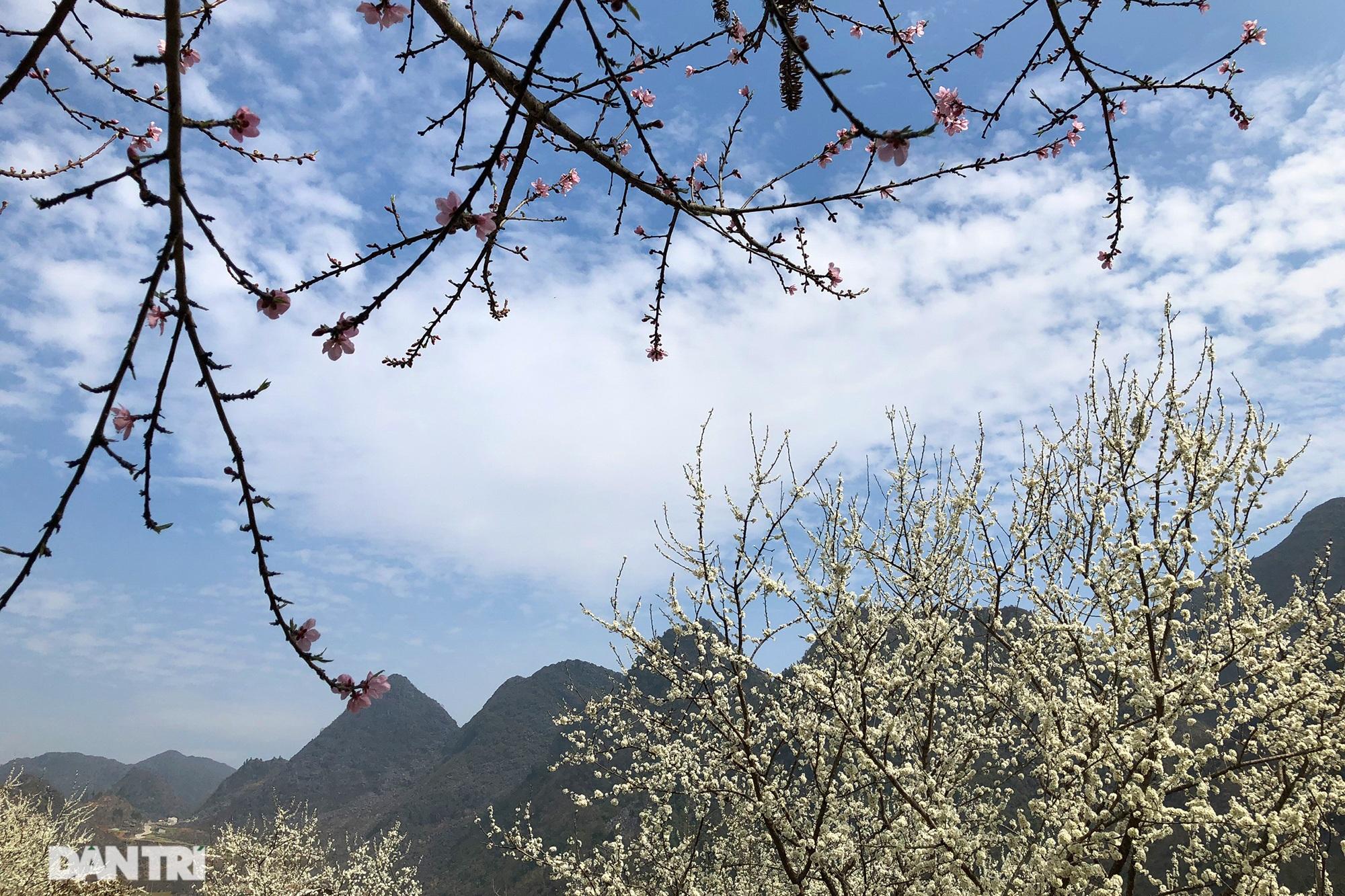 Hoa đào, mận nở khắp mọi nẻo đường cao nguyên đá Đồng Văn - 3