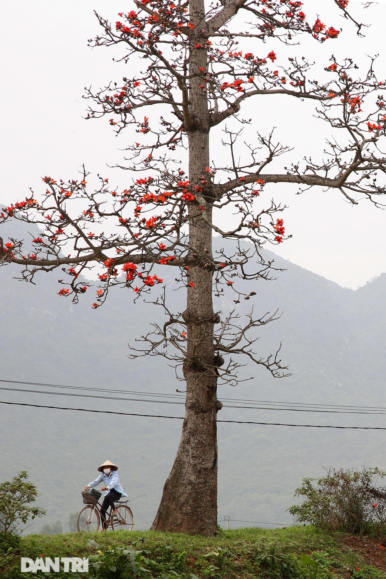 Hoa gạo nở đẹp sâu lắng vùng ngoại thành Hà Nội - 11