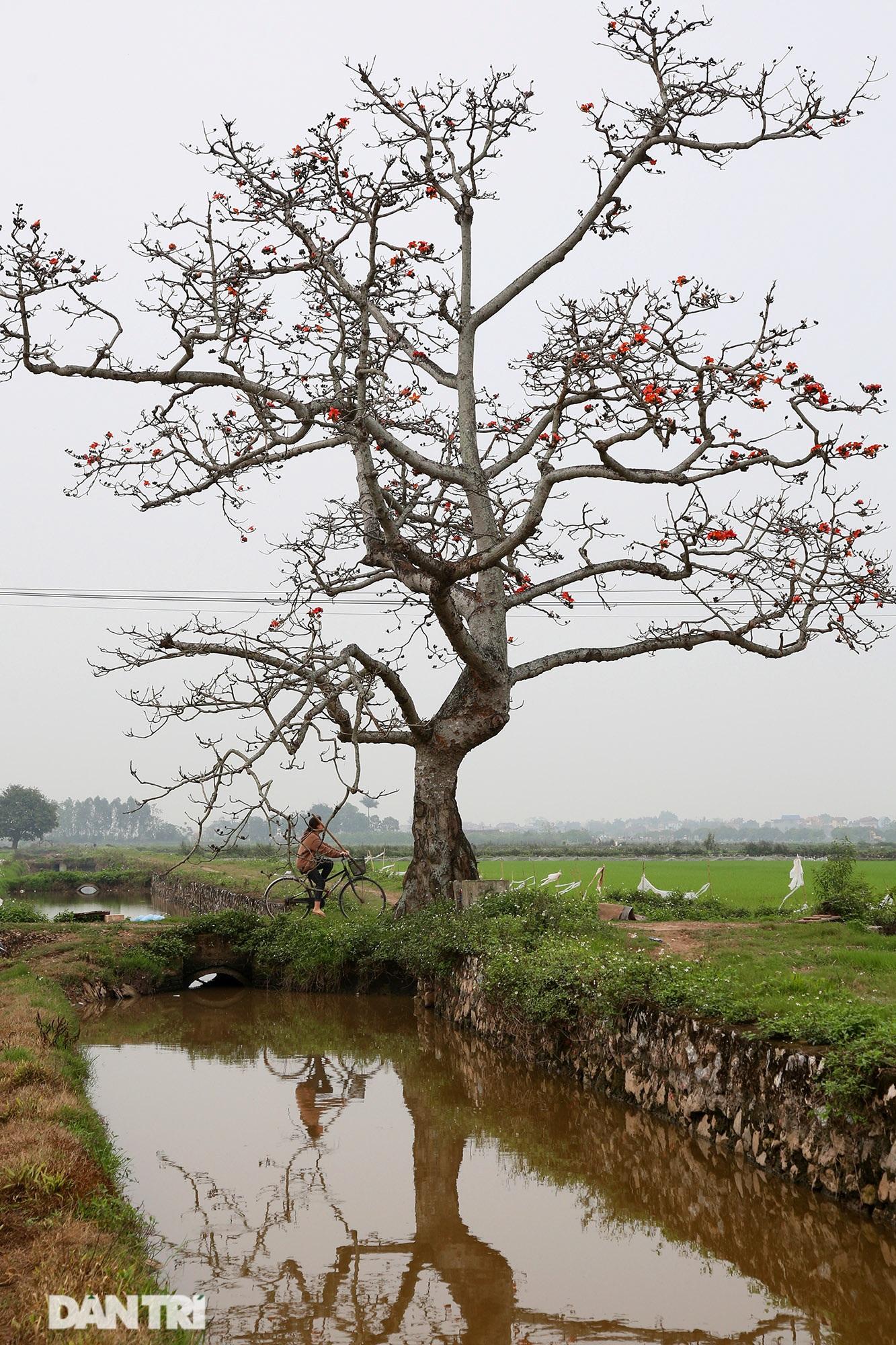 Hoa gạo nở đẹp sâu lắng vùng ngoại thành Hà Nội - 2