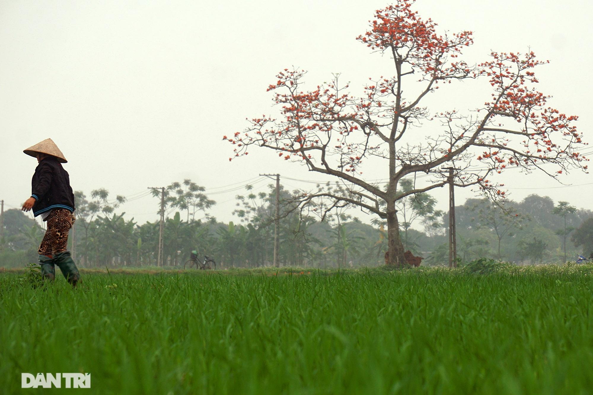 Hoa gạo nở đẹp sâu lắng vùng ngoại thành Hà Nội - 3