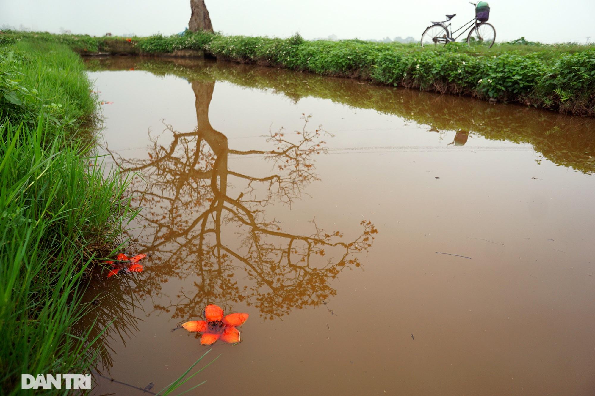 Hoa gạo nở đẹp sâu lắng vùng ngoại thành Hà Nội - 4