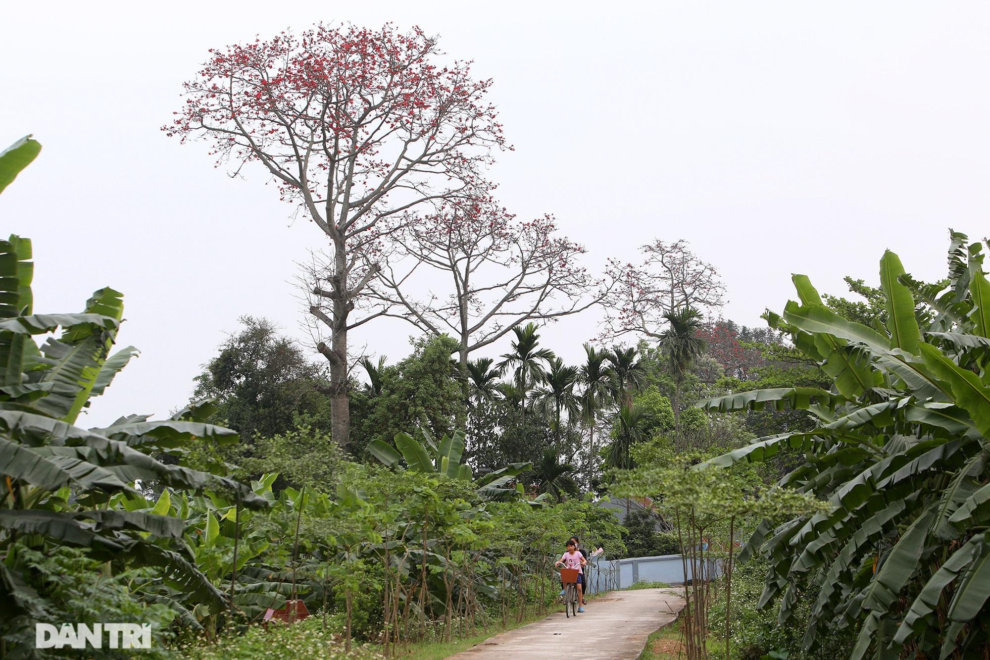 Hoa gạo nở đẹp sâu lắng vùng ngoại thành Hà Nội - 5