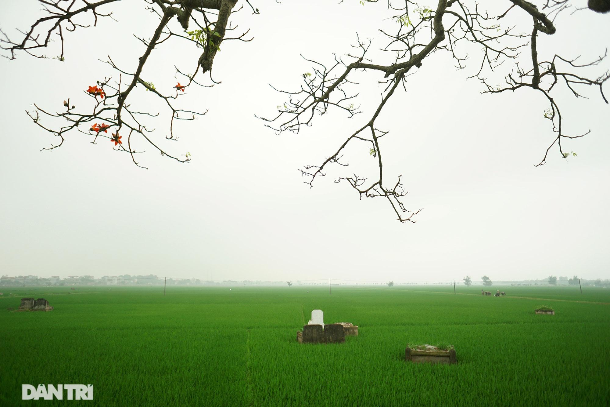 Hoa gạo nở đẹp sâu lắng vùng ngoại thành Hà Nội - 7
