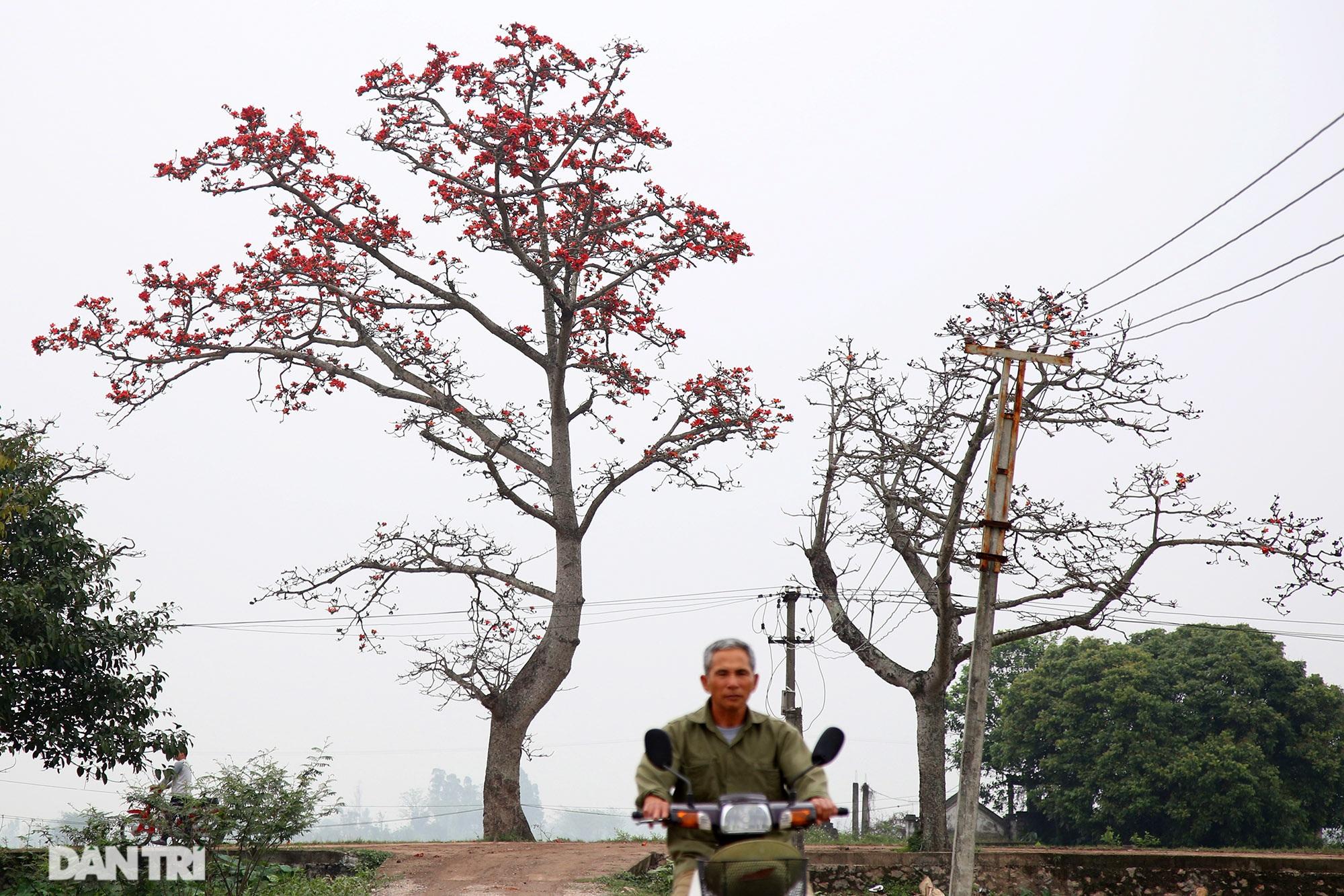 Hoa gạo nở đẹp sâu lắng vùng ngoại thành Hà Nội - 8