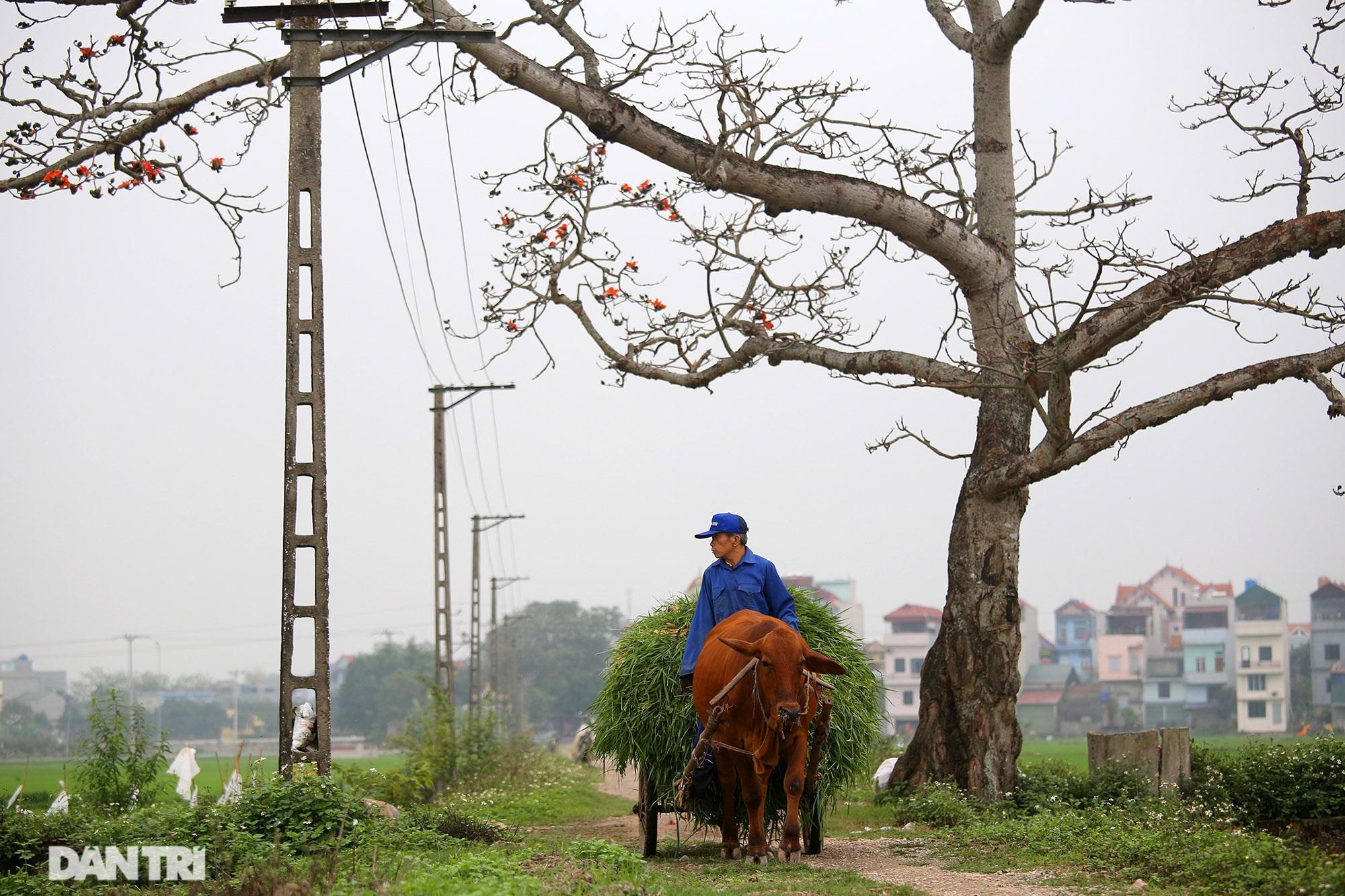 Hoa gạo nở đẹp sâu lắng vùng ngoại thành Hà Nội - 10
