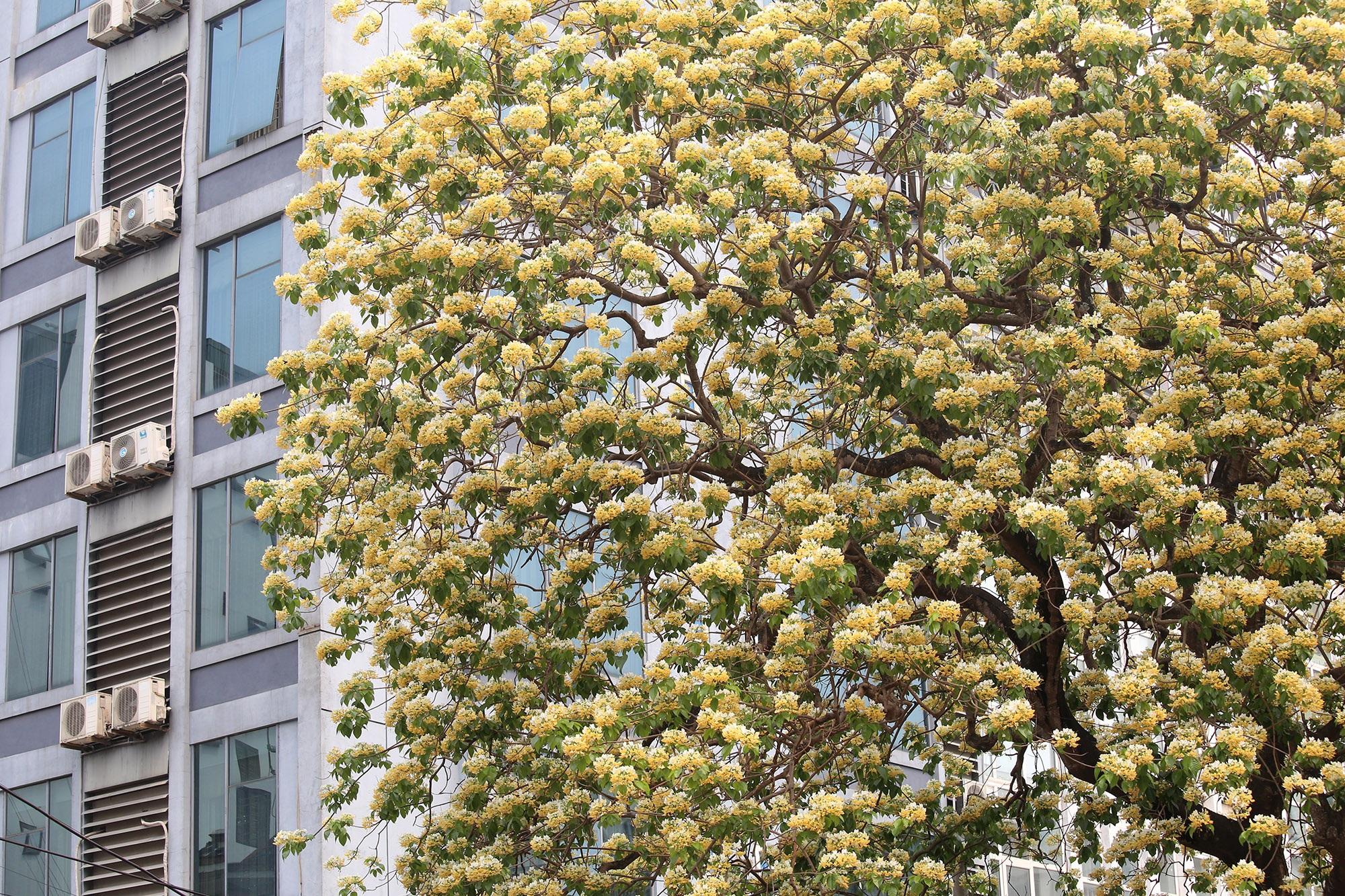 Cây hoa bún 300 tuổi ở Hà Nội thu hút người dân đổ về thưởng lãm - 11