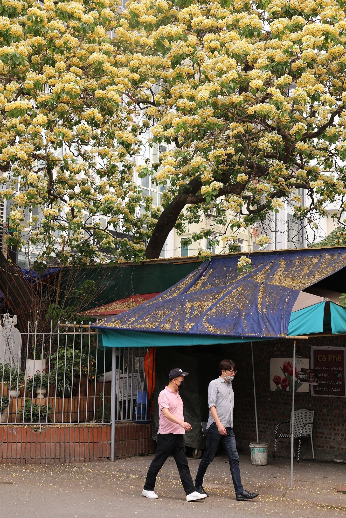 Cây hoa bún 300 tuổi ở Hà Nội thu hút người dân đổ về thưởng lãm - 13