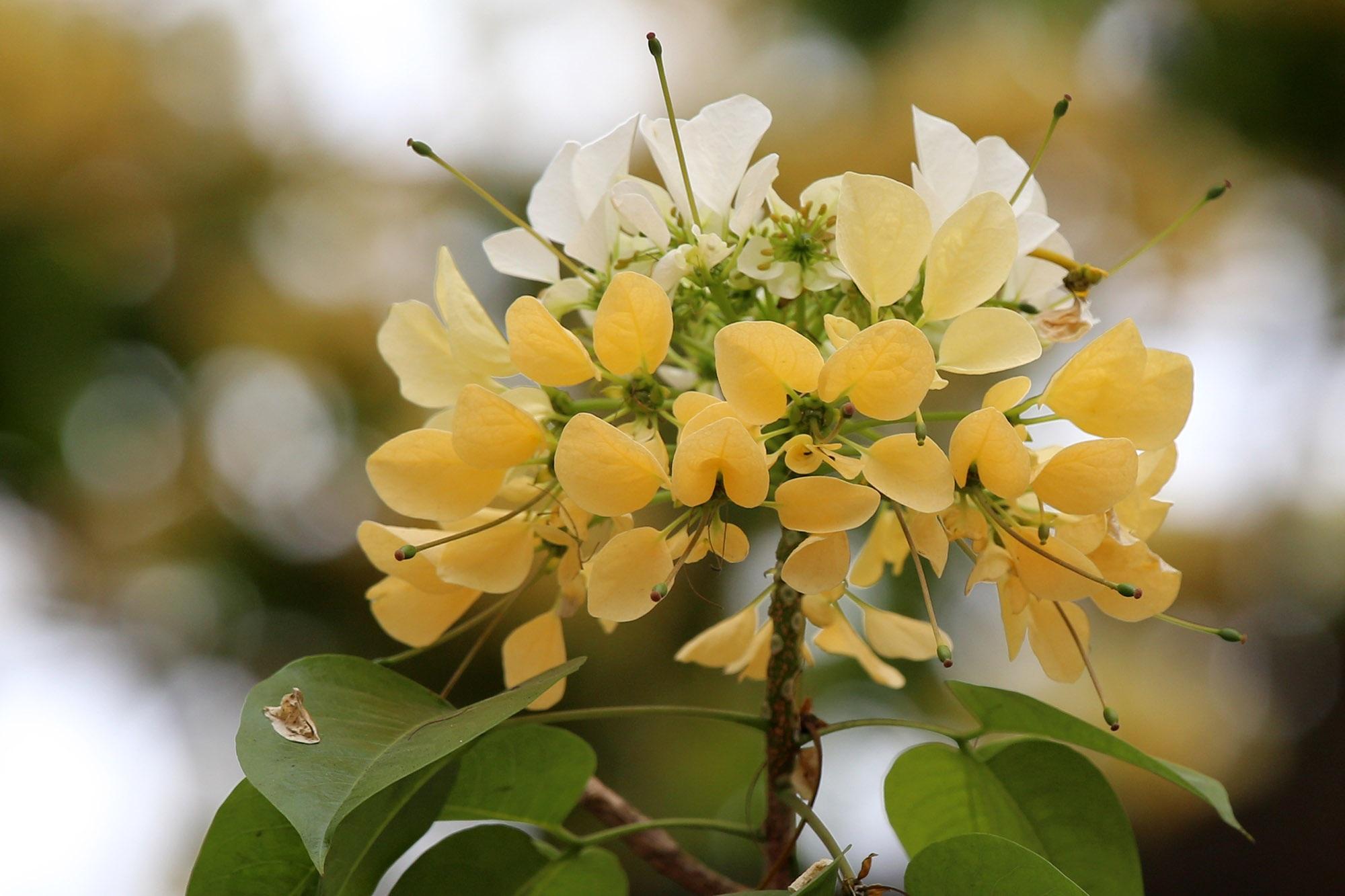 Cây hoa bún 300 tuổi ở Hà Nội thu hút người dân đổ về thưởng lãm - 5