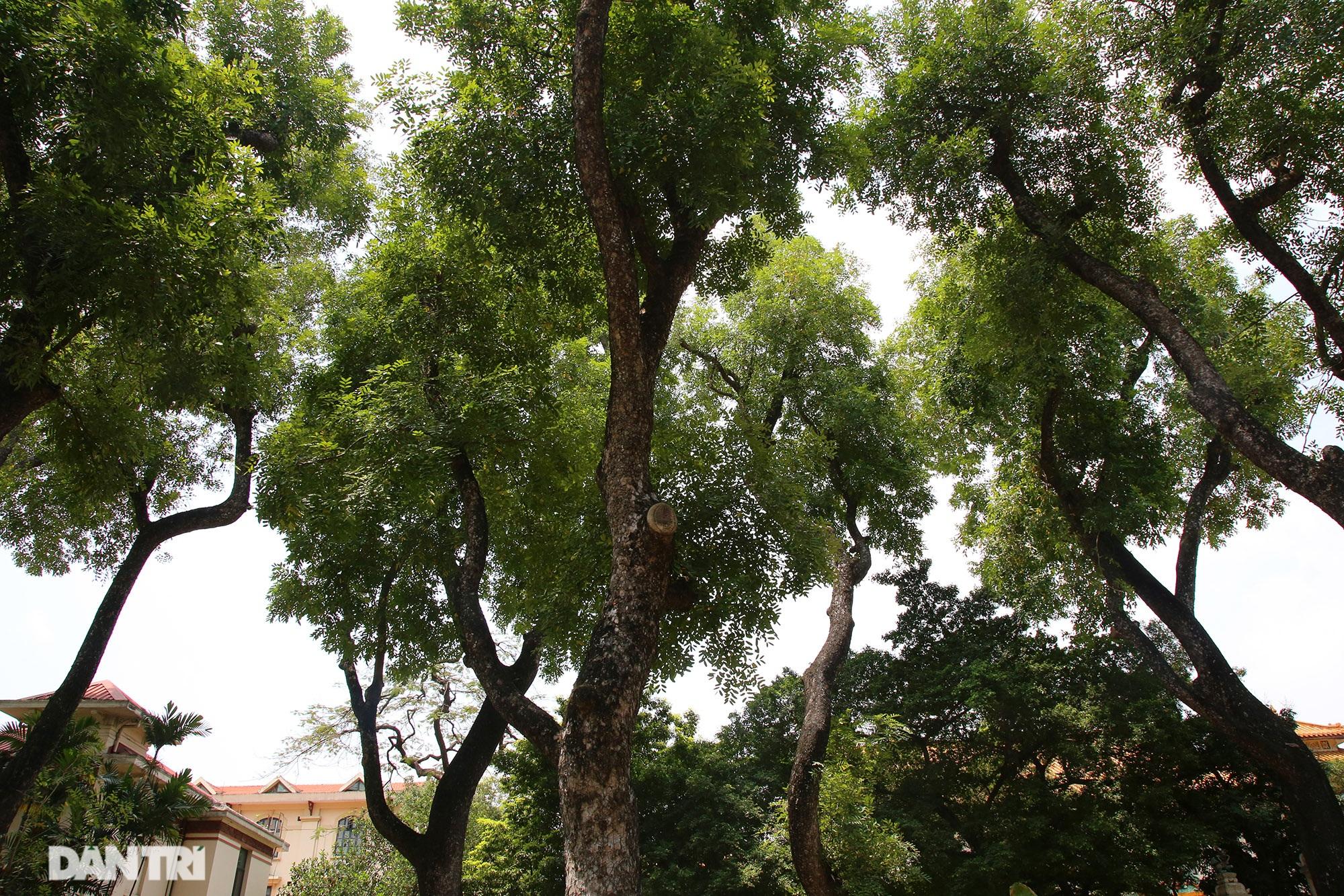 Những hàng cây xanh được quy hoạch hơn 100 năm trước ở Hà Nội giờ ra sao? - 11