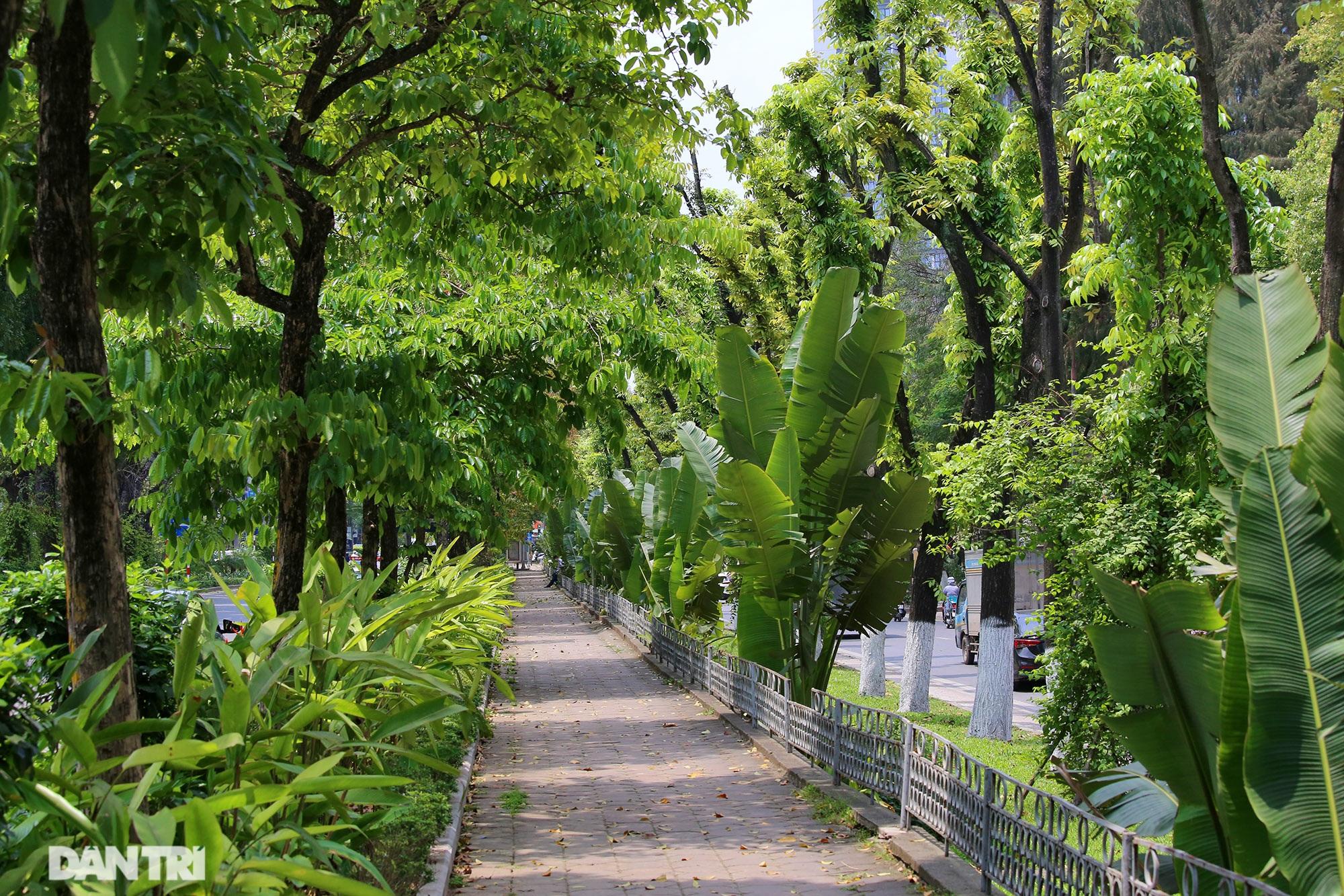Những hàng cây xanh được quy hoạch hơn 100 năm trước ở Hà Nội giờ ra sao? - 16