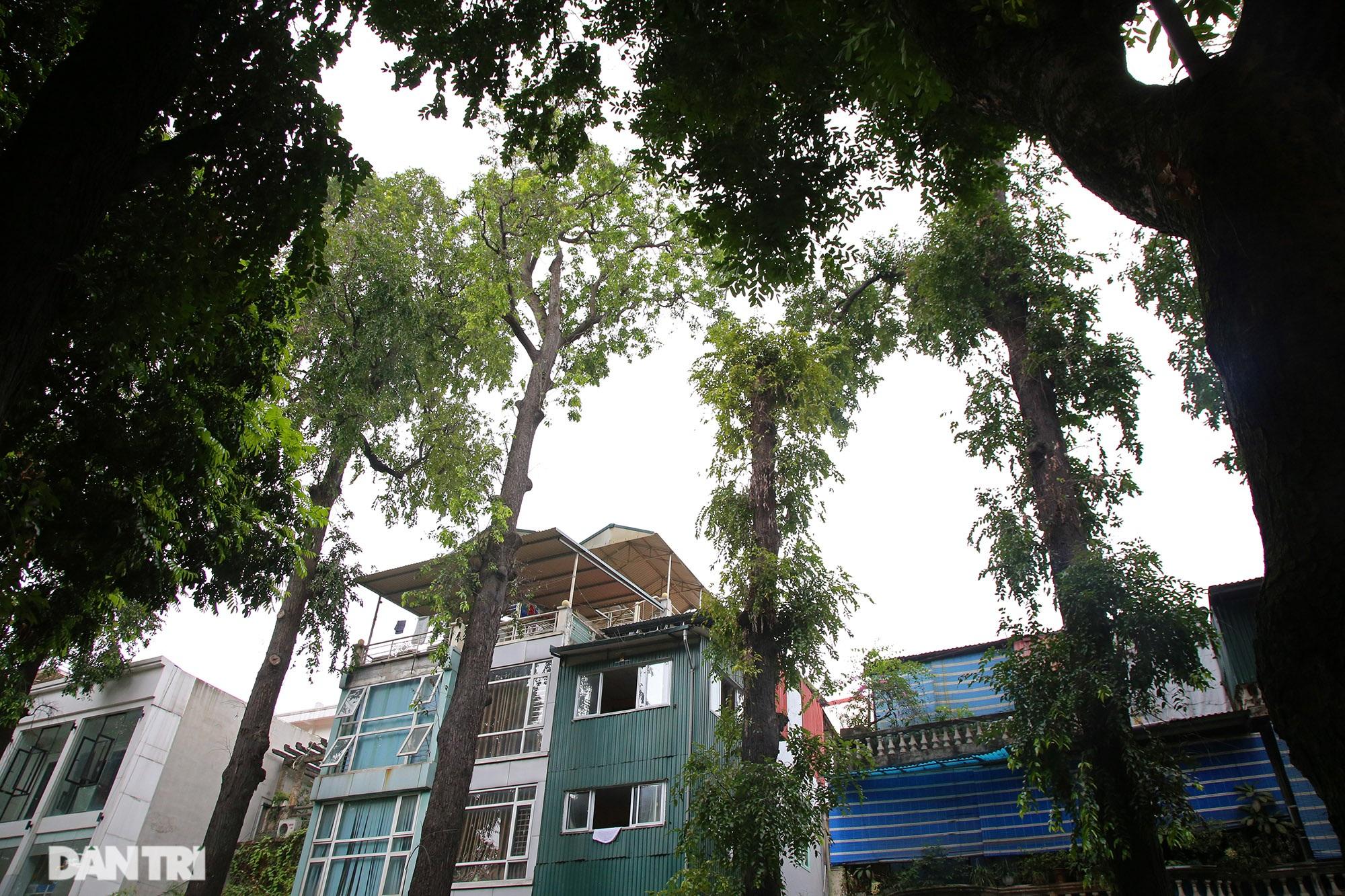 Những hàng cây xanh được quy hoạch hơn 100 năm trước ở Hà Nội giờ ra sao? - 4