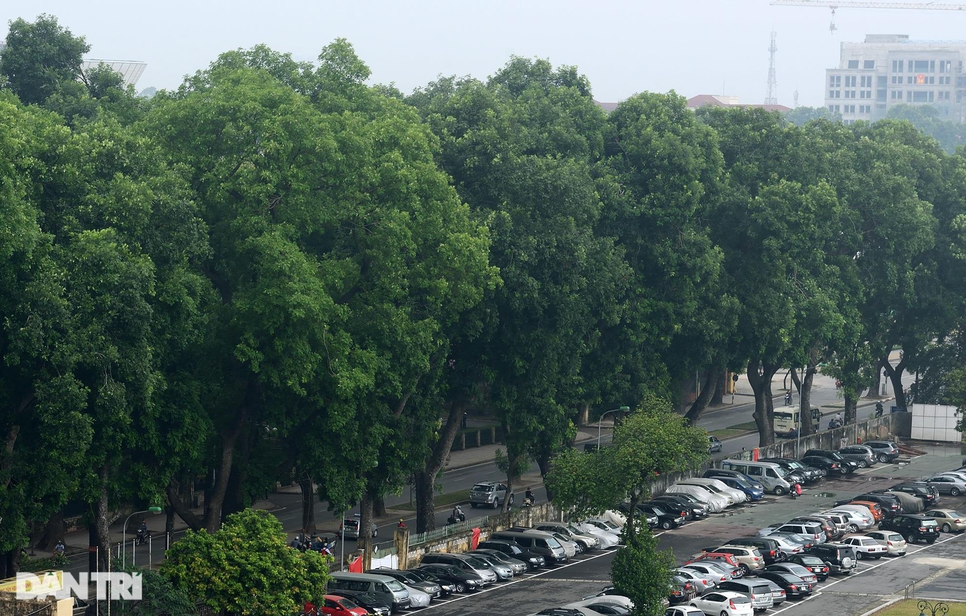 Những hàng cây xanh được quy hoạch hơn 100 năm trước ở Hà Nội giờ ra sao? - 9