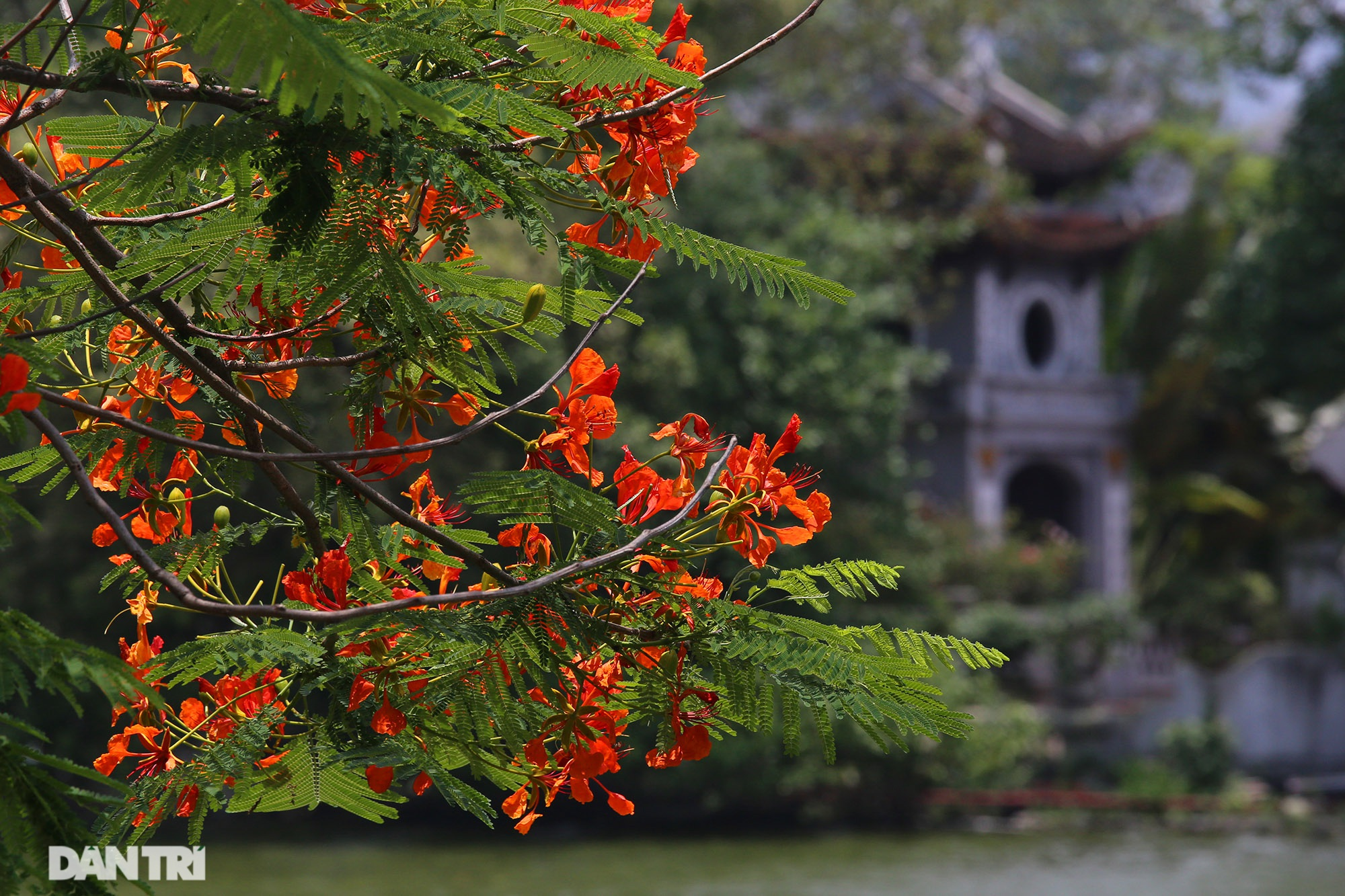 Mùa hoa phượng vĩ bắt đầu nở đẹp khắp phố phường Hà Nội - 10