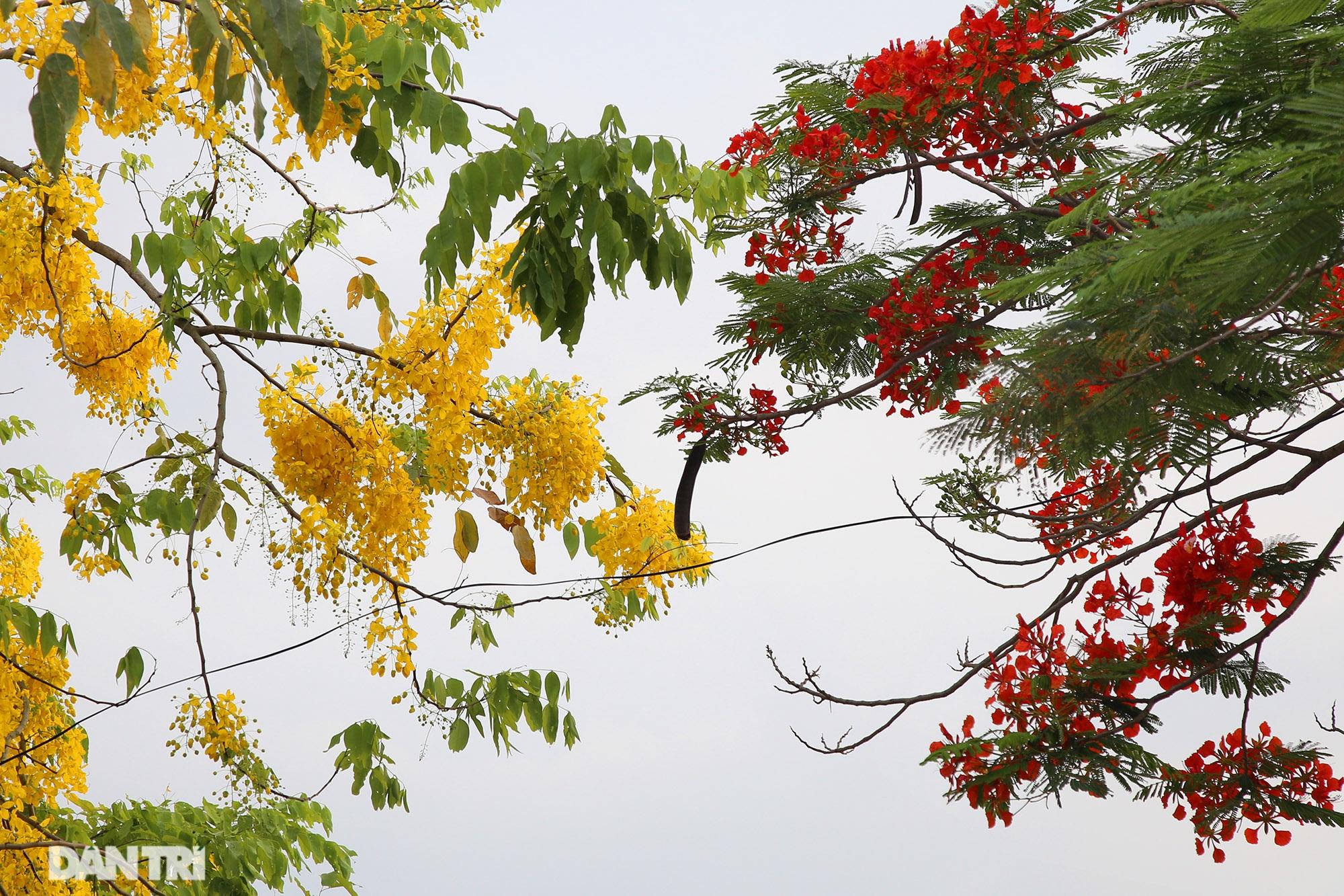 Mùa hoa phượng vĩ bắt đầu nở đẹp khắp phố phường Hà Nội - 13