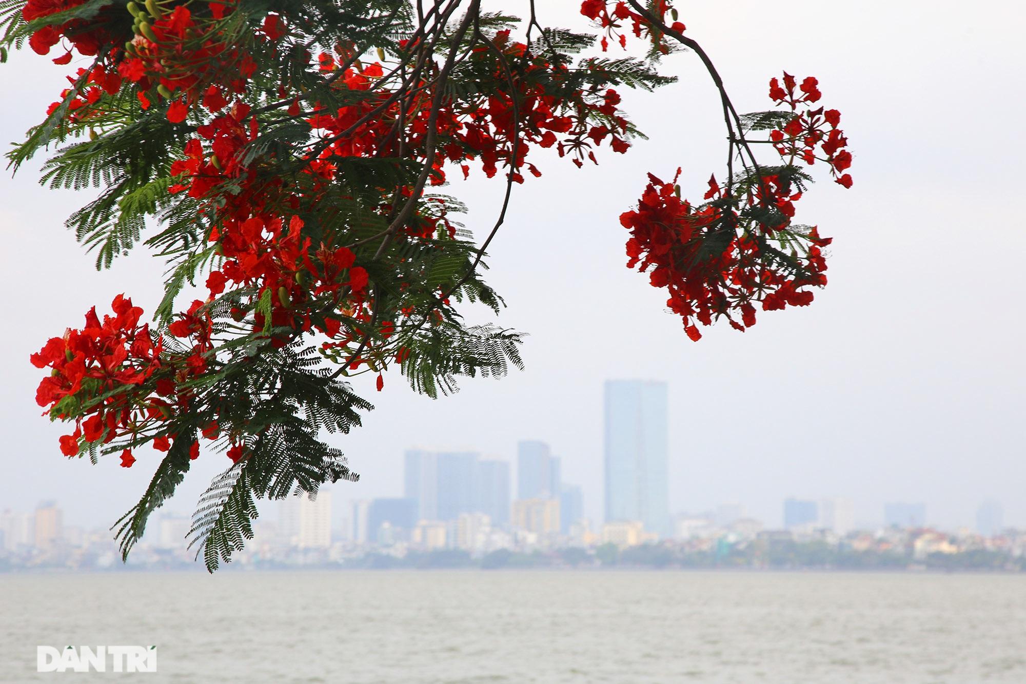 Mùa hoa phượng vĩ bắt đầu nở đẹp khắp phố phường Hà Nội - 2