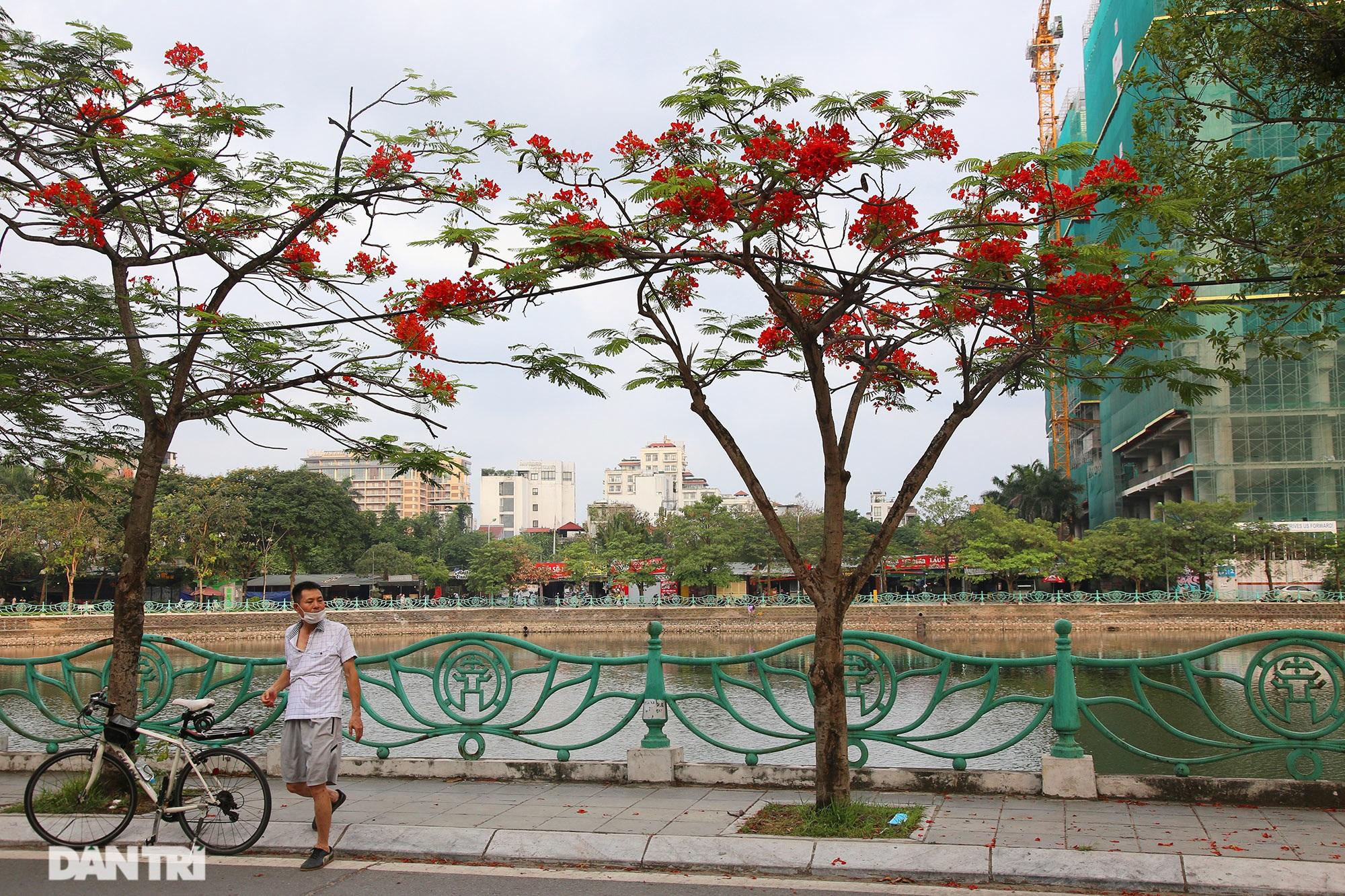 Mùa hoa phượng vĩ bắt đầu nở đẹp khắp phố phường Hà Nội - 7