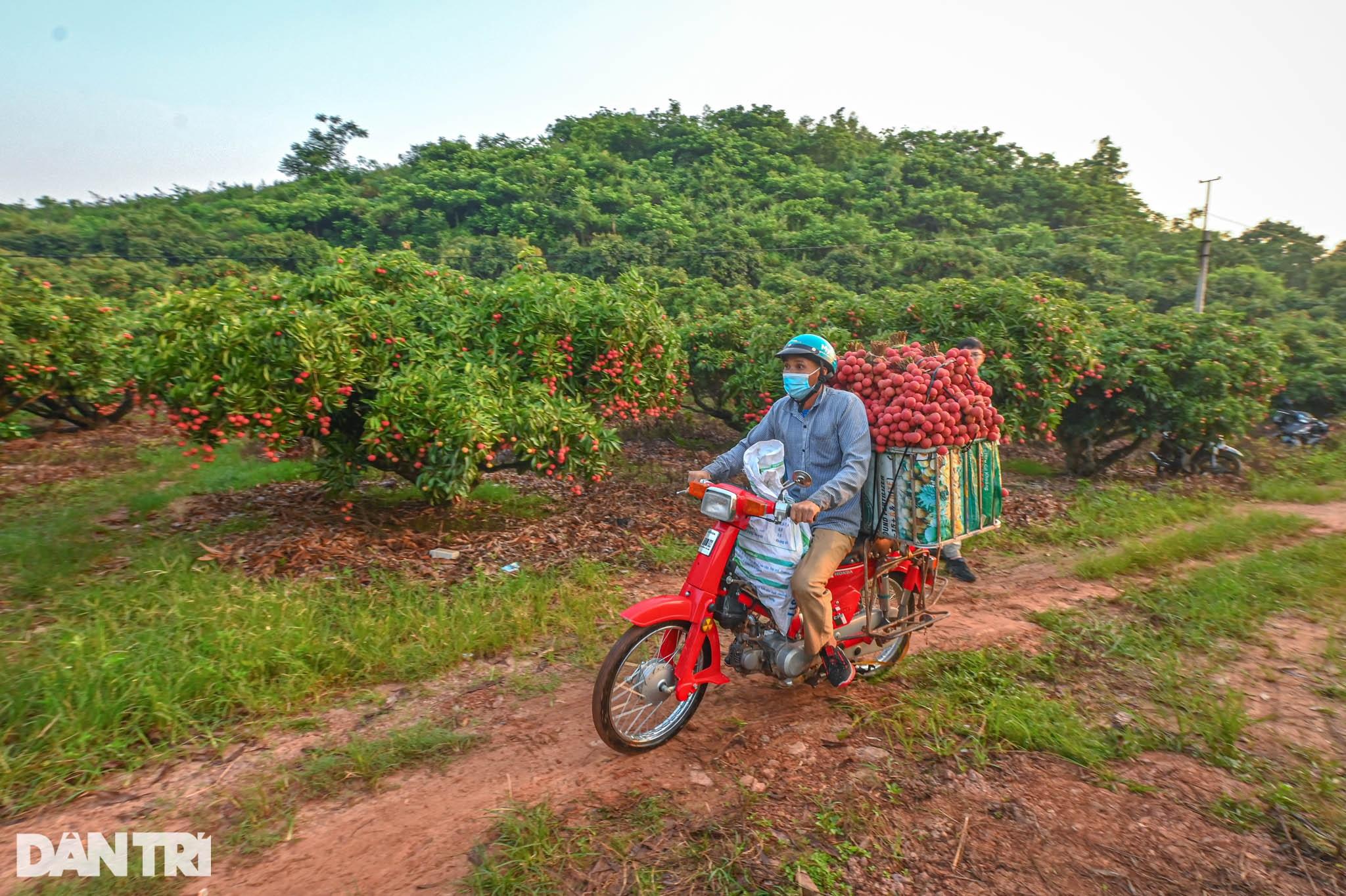 Công an huyện Lục Ngạn leo đồi, đi thuyền giúp nông dân thu hoạch vải - 20