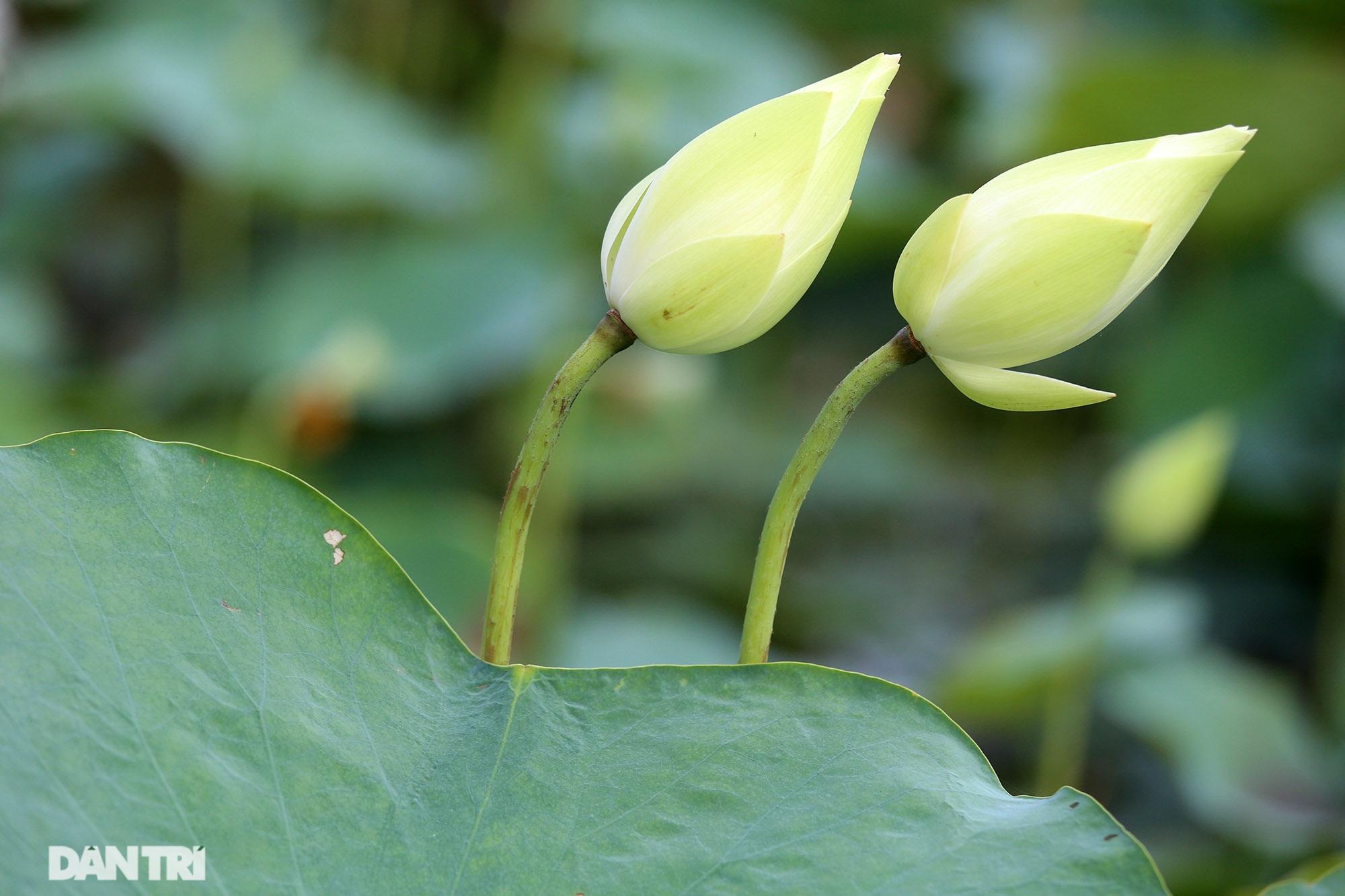 Thăm đầm sen ở Hà Nội có đến 167 loài, đa dạng nhất Việt Nam - 12