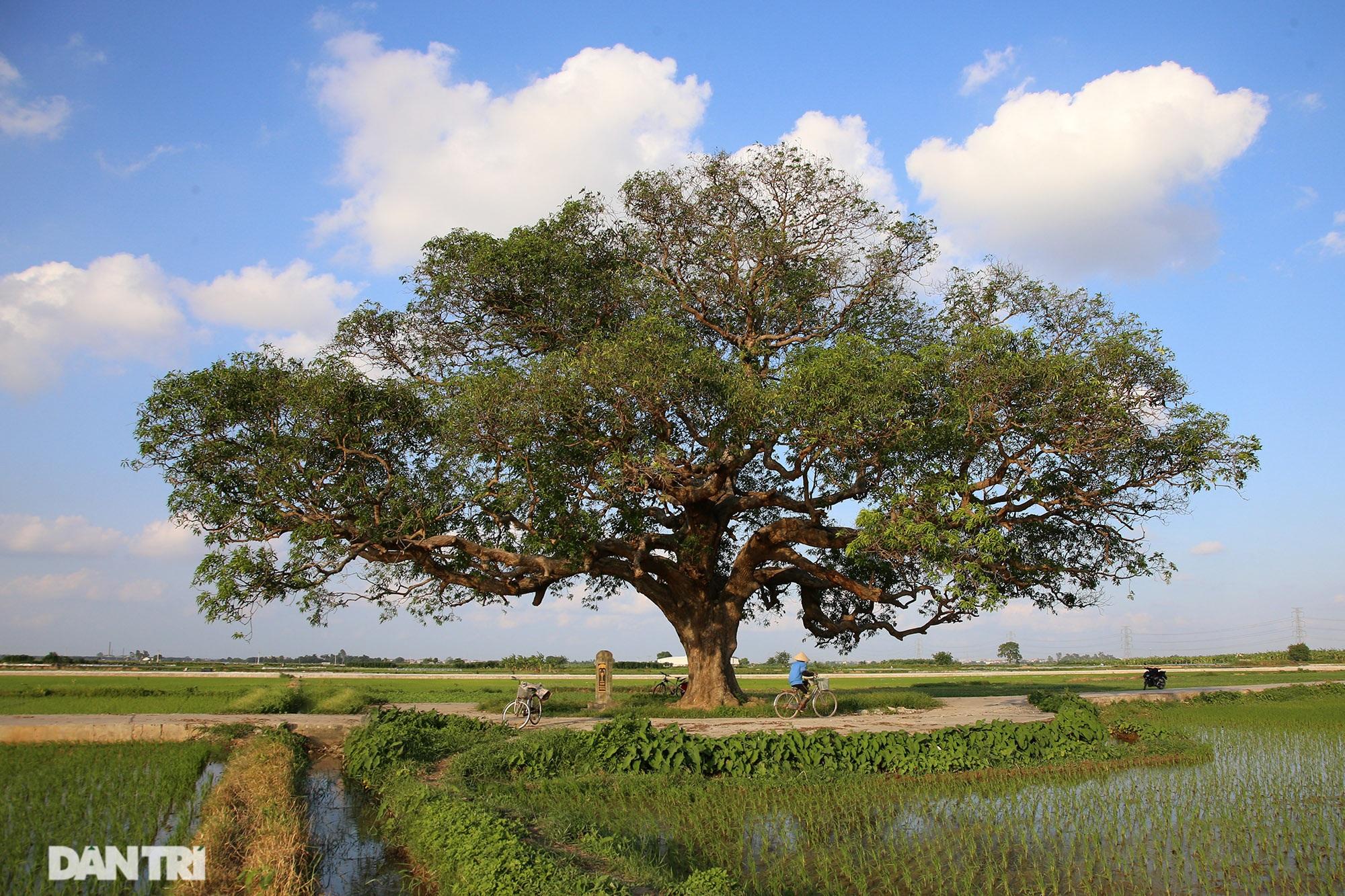 Cây muỗm 600 năm tuổi có nguy cơ chết khô vì bị quây bê tông quanh gốc - 1