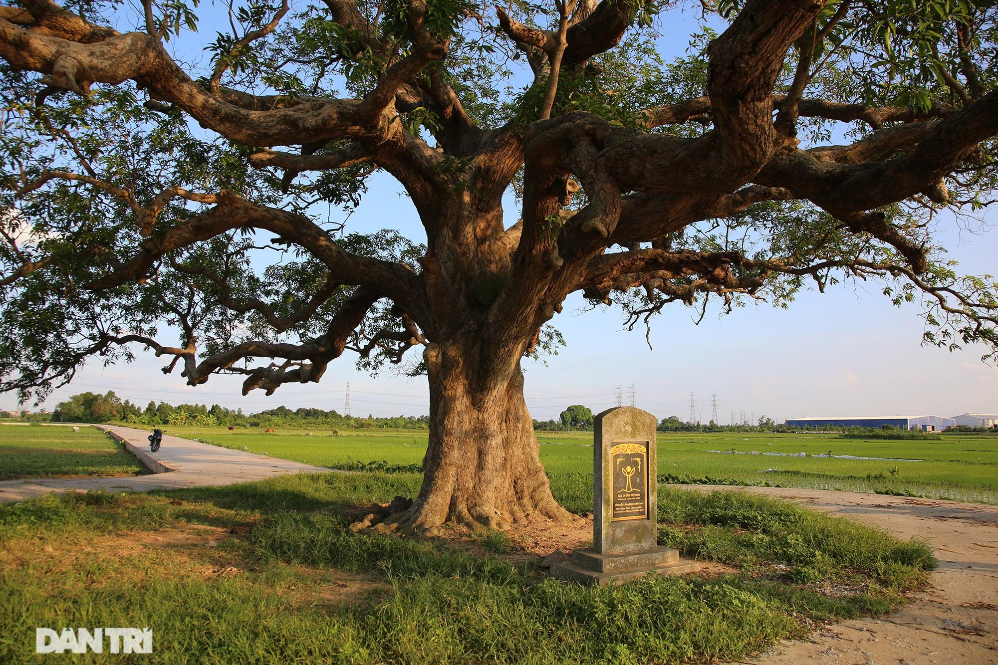 Cây muỗm 600 năm tuổi có nguy cơ chết khô vì bị quây bê tông quanh gốc - 2