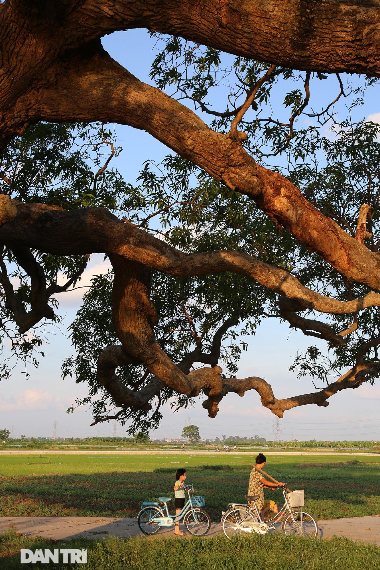 Cây muỗm 600 năm tuổi có nguy cơ chết khô vì bị quây bê tông quanh gốc - 4
