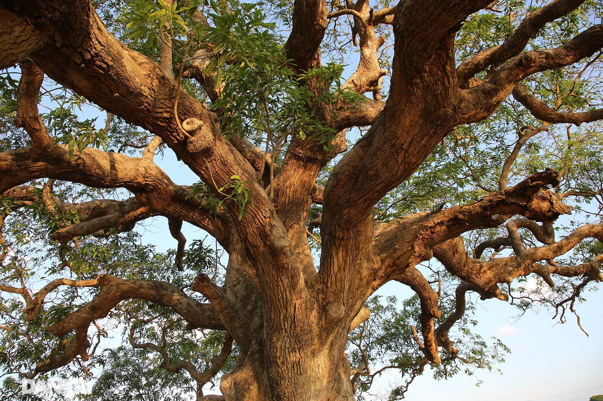 Cây muỗm 600 năm tuổi có nguy cơ chết khô vì bị quây bê tông quanh gốc - 6