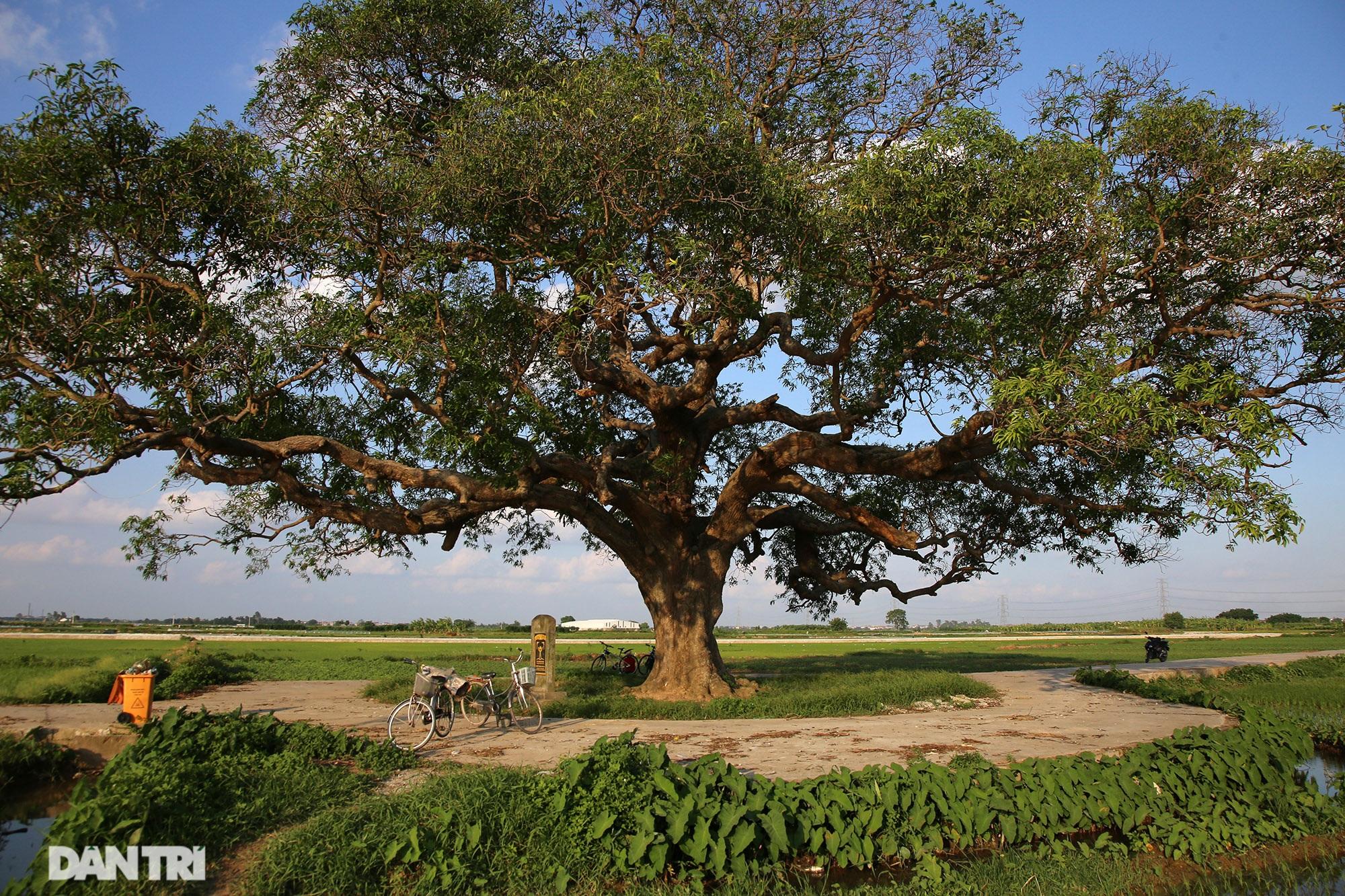 Cây muỗm 600 năm tuổi có nguy cơ chết khô vì bị quây bê tông quanh gốc - 7