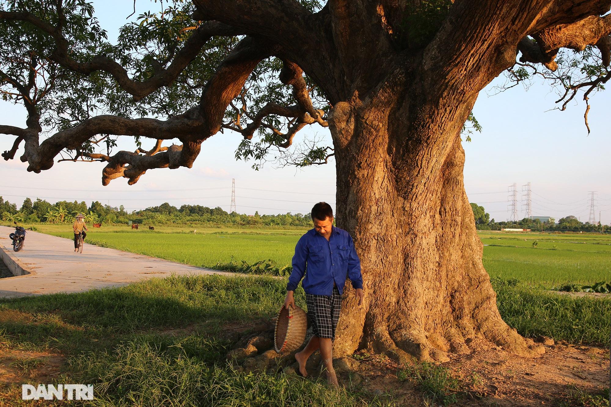Cây muỗm 600 năm tuổi có nguy cơ chết khô vì bị quây bê tông quanh gốc - 9