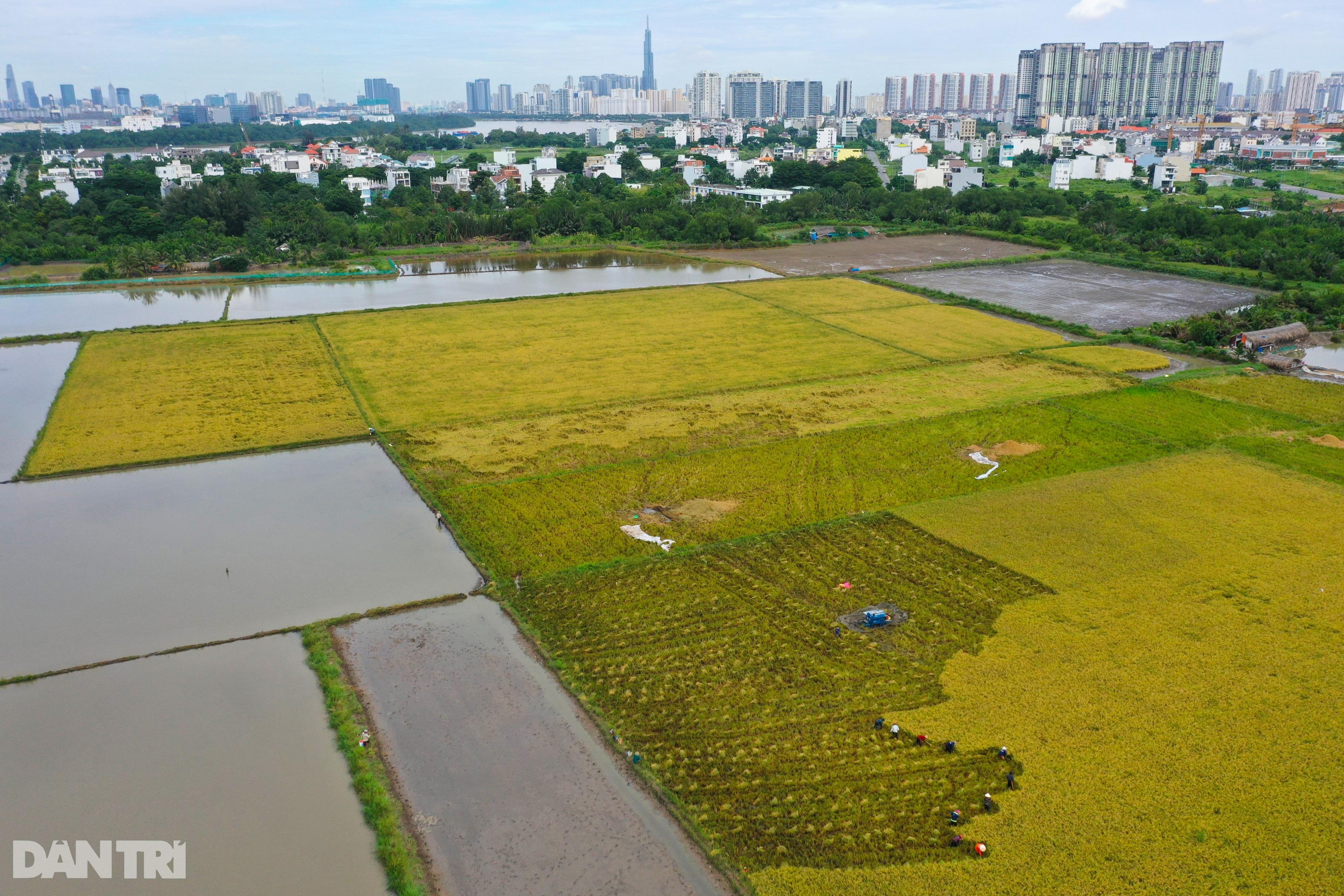 Công nhân thất nghiệp nhiều tháng nay ở Sài Gòn đi gặt lúa thuê - 1