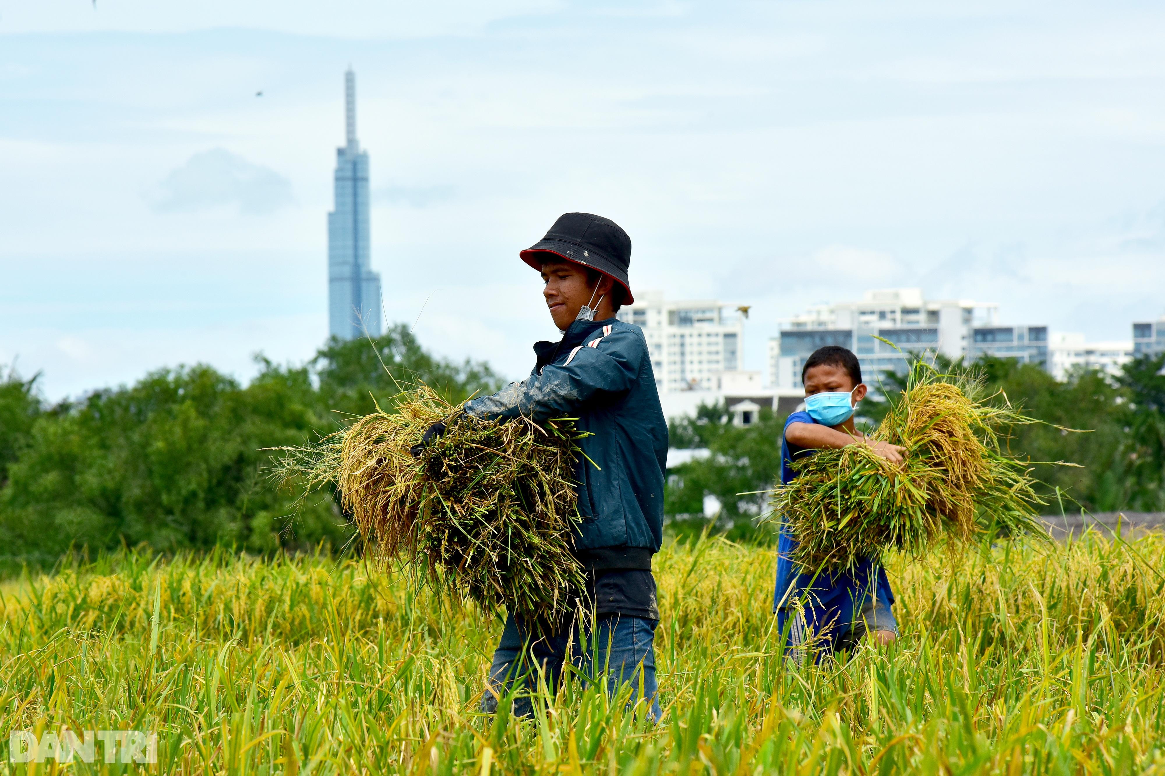 Công nhân_gặt lúa_TP Thủ Đức_Nguyễn Quang_5.jpg