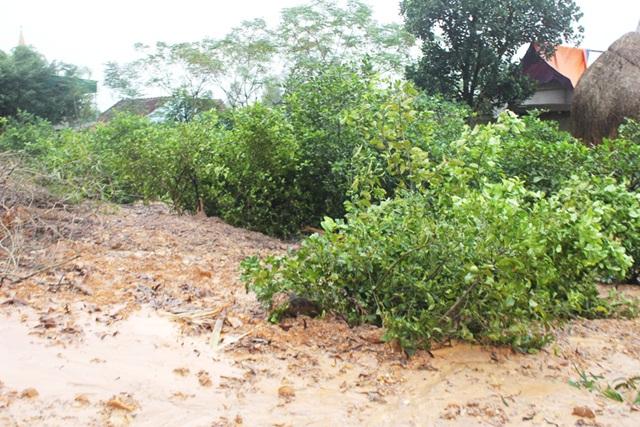 Nhiều gốc chanh - cây trồng chủ lực của người dân nơi đây bị đất đá vùi lấp.
