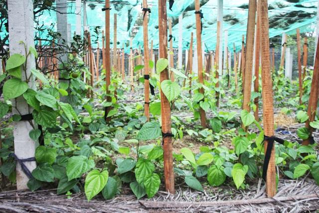 Do nhu cầu xuất khẩu lớn nên gia đình bà Hoa vừa quyết định mở rộng diện tích trồng trầu không lên 1.300m2.