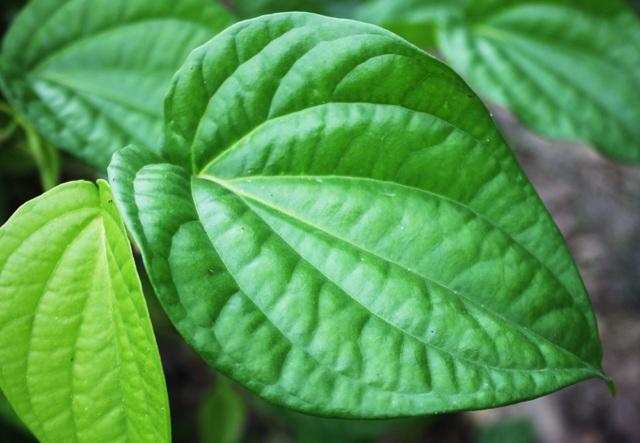 Trầu không xuất khẩu sang thị trường Đài Loan phải đáp ứng được các tiêu chí khá khắt khe như lá to dày, bề mặt nhẵn bóng không tì vết, có vị thơm, cay nồng.