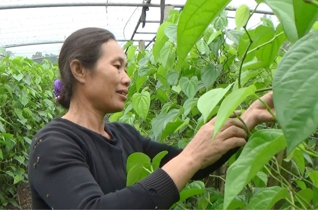 Trồng trầu không xuất khẩu, mỗi tháng gia đình bà Hoa thu nhập từ 30-40 triệu đồng.
