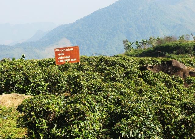 Mô hình trồng chè tuyết shan bước đầu phát huy hiệu quả trong công tác xóa đói giảm nghèo vùng biên giới tỉnh Nghệ An.