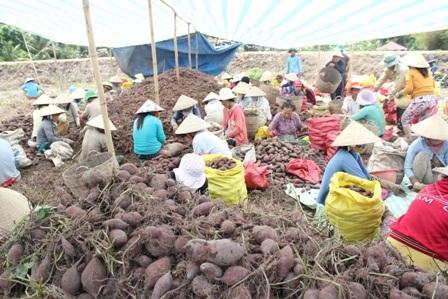 Nông dân đau đầu khi lượng khoai dạt rất lớn do sâu tàn mạt tấn công