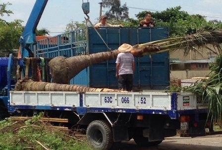 Thương lái thu mua dừa còn nguyên gốc rồi chở đi tiêu thụ