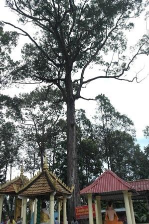 Công nhận 10 cây, cụm cây di tích lịch sử, văn hóa - 2