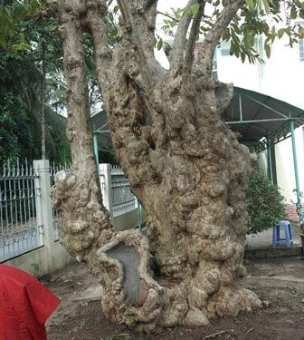 Công nhận 10 cây, cụm cây di tích lịch sử, văn hóa - 3