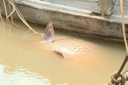 Ông Nghĩa may mắn bắt được con cá hô khủng trên sông Cổ Chiên
