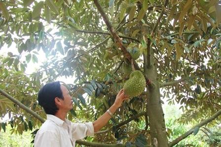 Nông dân vùng Chợ Lách (Bến Tre) chuẩn bị thu hoạch sầu riêng vụ nghịch