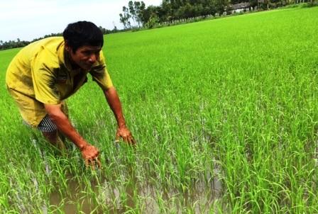 Nông dân mạnh dạn sản xuất lúa hữu cơ để cung ứng sản phẩm sạch ra thị trường