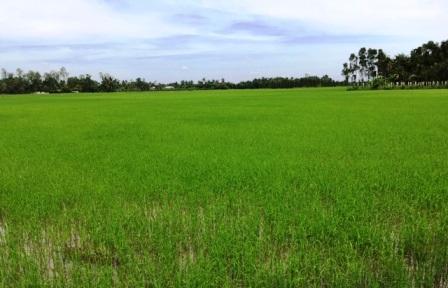 Cánh đồng lúa hữu cơ của HTX Tân Tiến ký hợp đồng tiêu thụ với doanh nghiệp