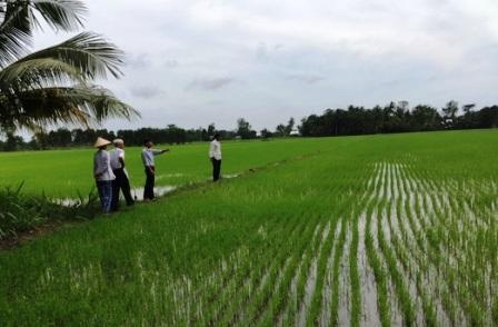 Cán bộ kỹ thuật thường xuyên thăm đồng, hướng dẫn nông dân sản xuất lúa hữu cơ
