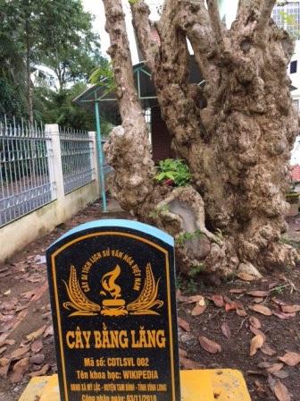 Cây bằng lăng cổ thụ được công nhận cây Di tích lịch sử văn hóa Việt Nam